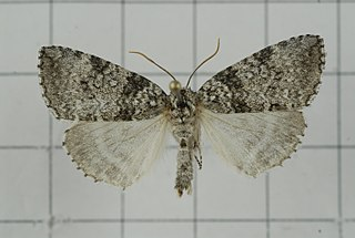 <i>Parapsestis</i> Moth genus in family Drepanidae