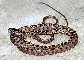 ASSAMESE CAT SNAKE.jpg