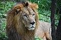 A Male Lion at Bannargatta National Park.jpg