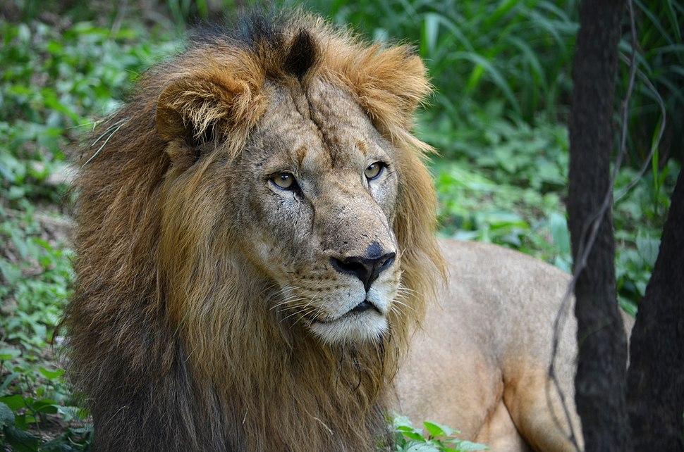 A Male Lion at Bannargatta National Park