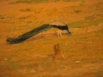A Peacock.jpg