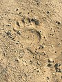 A bear trail near the school fence. Nekrasovka, Sakhalin Oblast. 03.jpg