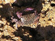 A crab at Wellington Point.jpg
