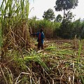 A farmer cutting sugarcane for milling.jpg