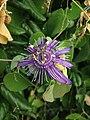 A flor da passiflora.jpg