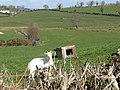 A goat on the Drumlee Road - geograph.org.uk - 2327182.jpg