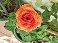 A variety of bangladeshi rose (1).jpg