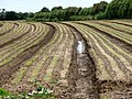 A winter crop emerging from the soil - geograph.org.uk - 879021.jpg