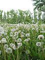 Ab plant 498.jpg