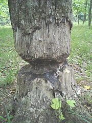 A tree abandoned by beavers, presumably too large