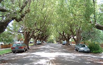 New Farm, Queensland - The western side of the suburb is characterised by large houses and tree-lined streets, including these camphor laurels.