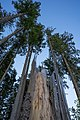 Abgebrochener Baumstamm umrundet von Hohen grünen Bäumen.jpg