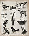Above, a bird, a cretan sheep and two african sheep, an inse Wellcome V0020673EL.jpg