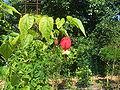 Abutilon megapotamicum14.jpg