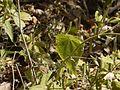 Abutilon persicum (Burm.f.) Merr. (4355507267).jpg