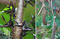 Acacia collinsii, the Bull Horn Acacia (10078435473).jpg