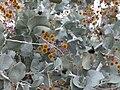 Acacia inaequilatera.jpg
