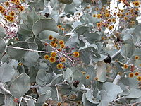 Acacia inaequilatera