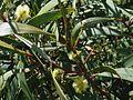 Acacia koaia (5187962188).jpg