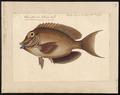 Acanthurus matoides - 1700-1880 - Print - Iconographia Zoologica - Special Collections University of Amsterdam - UBA01 IZ13700037.tif