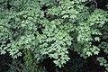 Acer cappadocicum Lilienfeld2.jpg