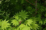 Acer japonicum youngleaves.jpg