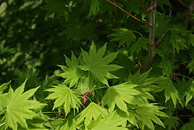 280px-Acer_japonicum_youngleaves.jpg