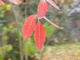 Acer maximowiczianum0