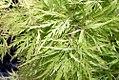 Acer palmatum var. dissectum Viridis 4zz.jpg