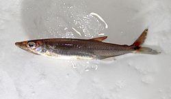 Acestrorhynchus minimus.jpg