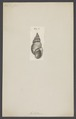 Achatina - Print - Iconographia Zoologica - Special Collections University of Amsterdam - UBAINV0274 005 03 0019.tif