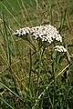 Achillea millefolium, Le Brey - img 13636.jpg