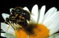 Acroceridae.png