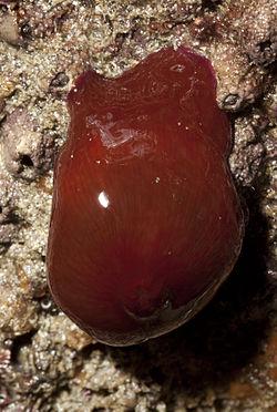 Une autre actinie rouge, au dessus de l'eau, à marée basse. Elle est refermée, ce qui lui vaut son nom de «tomate de mer»