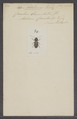 Adelium - Print - Iconographia Zoologica - Special Collections University of Amsterdam - UBAINV0274 027 48 0004.tif