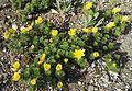 Adonis vernalis L. (Ranunculaceae)-1F.jpg