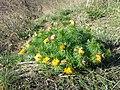 Adonis vernalis sl60.jpg