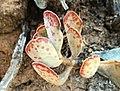 Adromischus triflorus - South Africa 1.jpg