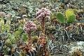 Aeonium lancerottense in Lanzarote, June 2013 (7).jpg