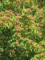Aesculus flava01.jpg