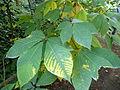 Aesculus parviflora-Jardin des plantes 05.JPG