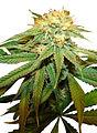 Afghan Cannabis.jpg