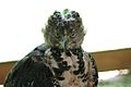 African Crowned Eagle.jpg