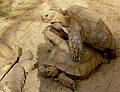 African Spurred Tortoises (Centrochelys sulcata) attempted mating ... (Captive specimen) (30173772187).jpg