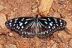 African blue tiger (Tirumala petiverana).jpg