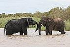 African elephants, Lake St Lucia 01.jpg