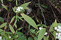 Ageratina riparia leaf5 (15221220676).jpg