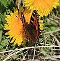 Aglais urticae (Small tortoiseshell) - Flickr - S. Rae.jpg