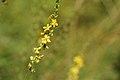 Agrimonia eupatoria (36677389332).jpg