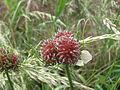 Ail des vignes (Allium vineale).JPG